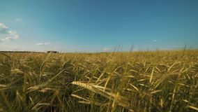 Golden wheat ready to be harvested stock footage