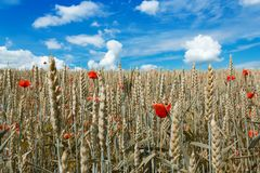 Golden wheat with red poppy Stock Photos