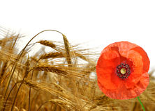 Golden wheat with red poppy Royalty Free Stock Images
