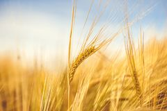 Golden wheat ripe in the field. Wheat stalk and grain close up selective focus soft shades of yellow and orange background Summer Stock Photography