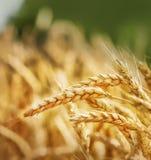 Golden wheat Stock Photography
