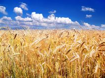 Golden Wheat and Sky in background Royalty Free Stock Photo