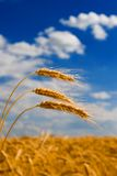 Golden wheat in the sky background Royalty Free Stock Images