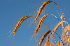 Golden wheat spike before harvest Stock Photography