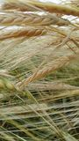 Wheat ripens on the field. Golden wheat spike ripen in the field under the sun Royalty Free Stock Image