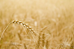 Golden Wheat Spikelet Stock Images