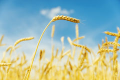 Golden wheat spikelet in field and blue sky Royalty Free Stock Image