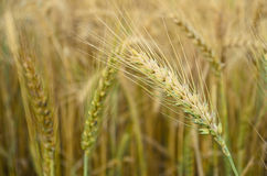 Golden Wheat Spikelets Royalty Free Stock Photo