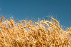 Golden wheat spikes with blue sky Stock Photo