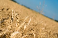 Golden wheat spikes with blue sky Royalty Free Stock Images