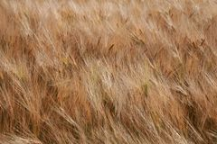 The golden wheat spikes in the wind stock photography