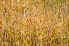 Golden wheat texture Royalty Free Stock Photo