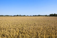 Golden wheat under blue sky. A summer landscape with golden wheat field and distant trees under a clear blue sky Stock Photos