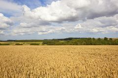 Golden wheat and woodland Royalty Free Stock Photos
