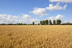 Golden wheat in yorkshire Royalty Free Stock Image