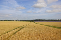 Golden wheat in yorkshire Stock Images
