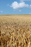 Golden wheatfield and blue sky Royalty Free Stock Photos