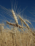 Golden Wheat. In field; end of summer royalty free stock photos