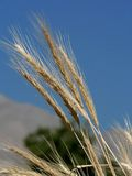 Golden wheaties. In field; end of summer stock photography