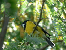 Golden Whistler Royalty Free Stock Images