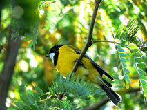 Golden Whistler in My Garden. The Australian golden whistler is a species of bird found in forest, Woodland, Mallee, mangrove and scrub in Australia Most royalty free stock image