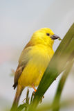 Golden white eye bird Stock Photography