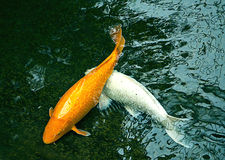 Golden and white ornamental fishes in dark pond Royalty Free Stock Photo