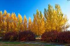 The golden white poplar blue sky Stock Images