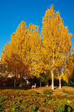 Golden white poplar Stock Photo