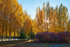The golden white poplar Royalty Free Stock Photography