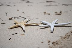 Golden and White Starfish on a golden sandy beach. Tropical island setting royalty free stock images
