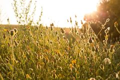 Golden wild flowers at sunset. Meadow flowers in backlight at sunset Stock Image