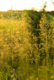Golden wild grass on the sunset in backlight. Meadow grass against the sun at sunset next to wheat field Stock Photos