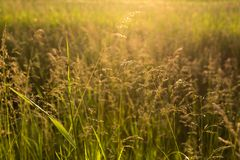 Golden wild grass at sunset. Meadow grass in backlight at sunset Stock Photos
