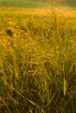 Golden wild grass at sunset. Meadow grass in backlight at sunset Stock Image