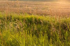 Golden wild grass at sunset. Meadow grass in backlight at sunset Royalty Free Stock Photos