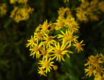 Golden Wildflowers. Morning light falls softly on the golden wildflowers as they bloom in clusters Royalty Free Stock Photo