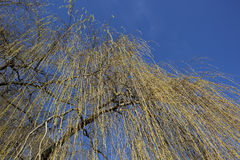 Golden willow background Stock Images