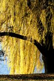 Golden willow Royalty Free Stock Image
