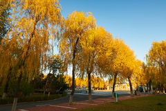 The golden willows sunset Stock Image