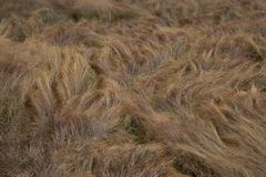 Golden windblown grassy landscape royalty free stock images