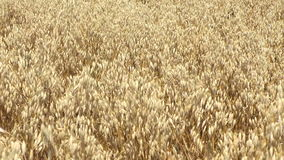 Golden windy barley stock footage