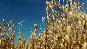 Golden windy barley stock video footage