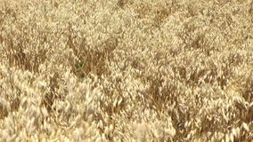 Golden windy barley stock video