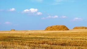Golden windy wheat field stock video