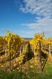 Golden wineyard. Autumn yellow leaves on the wine grapes, Germany Stock Photo