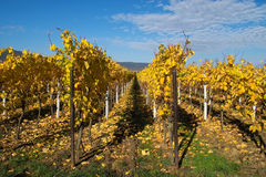 Golden wineyards. Rows of yellow wine grapes Royalty Free Stock Image