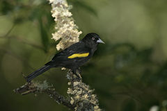 Golden-winged cacique, Cacicus chrysopterus Stock Photos