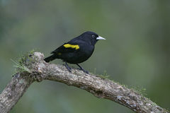Golden-winged cacique, Cacicus chrysopterus Stock Image