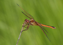 Golden Winged Skimmer Dragonfly Royalty Free Stock Photography